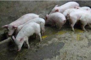 分析近年猪场病毒性腹泻的病因及防控措施