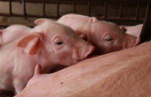 规模猪场防控哺乳小猪成活率低下的系统方案解析(上)