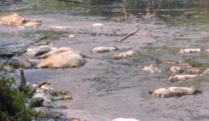 猪场老板将约200头死猪丢鱼塘 畜牧部门责令掩埋