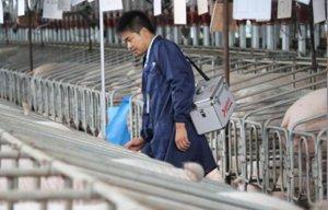 养猪管理无小事之――配种时易被忽视的细节