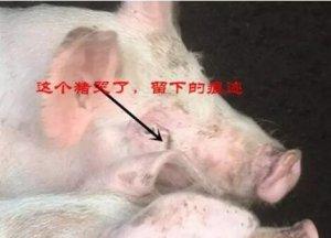 你知道您的猪为什么哭了吗?一句话归根结底鼻泪管肿胀堵塞有关
