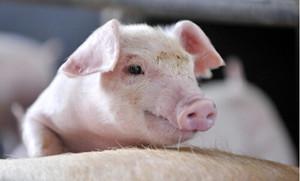 成本下降 赚得更多 今年生猪均价8.3元/斤左右