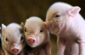 湖南:东江湖退养生猪10万头
