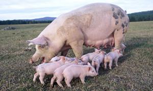 规模化,不是破解猪周期的良药!