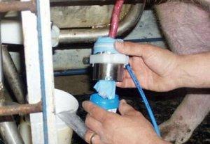 劣质公猪精液稀释剂降低生猪产量,可能推高生猪价格