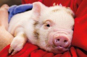 美国猪兽医协会聚焦行业合作