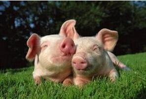 猪肉生产商所提出的动物福利高标准应当作为典范
