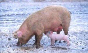 诊断生猪疾病需要诊断学
