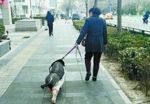 大妈中关村遛猪几年 小香猪成网红
