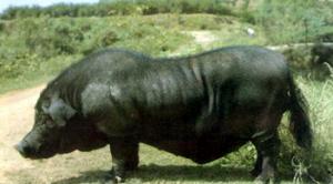 湖南:凤凰发展湘西黑猪地方特色养殖业
