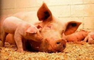 围产期的母猪需要注意些啥?生产经验汇总