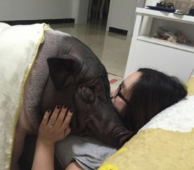 女子养170斤宠物猪 同一被窝睡觉