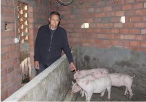 井研一养猪场17头猪深夜被盗 警方介入调查