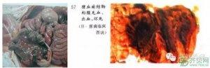 老刘养猪故事――血痢还有救吗?