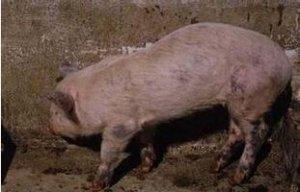 规模化猪场猪疥螨病的有效防治