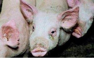 警惕猪传染性萎缩性鼻炎的复发