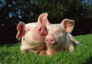 四川:绵竹订单销售生态年猪 农户收入有保障