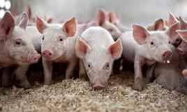 饲料企业布局养猪业 规模化进程加速推进