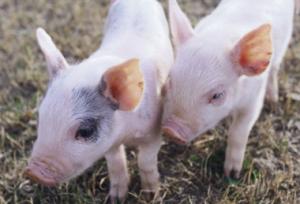 山东:费县养猪人喜上眉梢