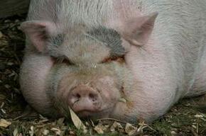 用米糠喂猪容易引起便秘,该怎么治疗?