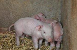 你真的了解猪毛孔出血的原因吗?