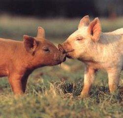 猪互咬尾巴、打架的原因及治疗方法