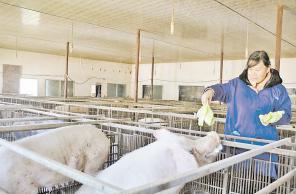 四川凉山:打工仔的回乡创业之路 投资养猪年赚40万元