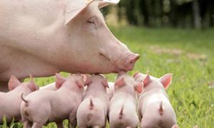 看数据!中国维持猪肉供应究竟需要多少头