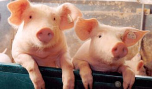 长途贩运猪苗应激综合征的预防措施