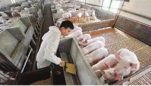 规模化猪场员工素质与技能的培养