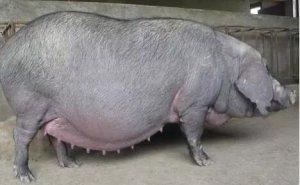 怀孕母猪用药禁忌,你知道多少?