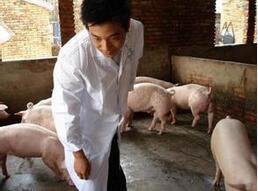 老刘养猪故事――呼吸道病综合防控3