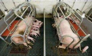 北爱尔兰2015年养殖猪群规模扩大