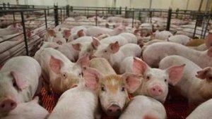 芝加哥商业交易所:预期生猪繁殖群将扩大