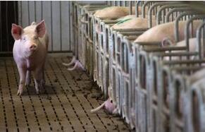 布隆迪圈养猪爆发非洲猪瘟