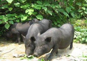 滇南小耳猪养殖建场、喂料、分群的管理技术