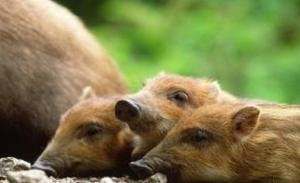 日本枥木县从野猪中检出超标的放射性铯