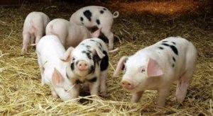 仔猪什么时候断奶最好?