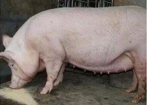 兽医不一定喜欢,更未必能看懂、感兴趣:七阶段母猪饲养金方案