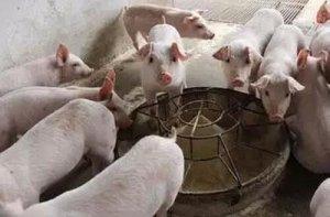 仔猪断奶后第1周应该吃多少呢?一个具有高度争议的话题,你怎么看待?