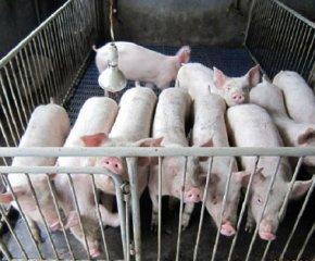 江苏无锡生猪出栏价逼近10元  猪粮比进入红色区域