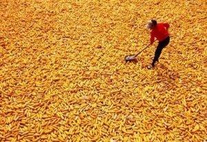 两会过后玉米临储可能会取消!中央农办主任:国家会给农民一定补贴