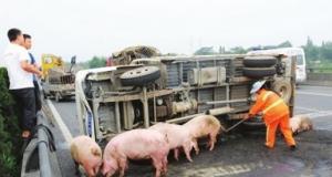 江苏昆曲高速拉猪货车爆胎侧翻 20多头猪摔落一地