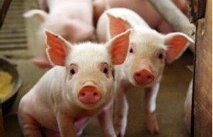 2015年辽宁省生猪出栏2675.7万头 同比减少163.7万头