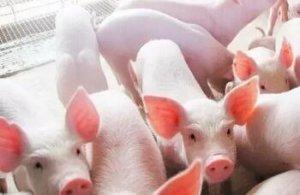 乳仔猪信号:从粪便形态看采食量,3种情况要注意