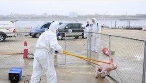 爱沙尼亚警告注意防范持续的非洲猪瘟的威胁