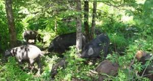 """吉林和龙花砬子林场""""森林猪""""热销"""