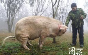 汶川地震猪坚强9岁了 死后将制成标本
