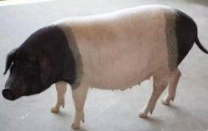 母猪滞产的助产方法大讲解