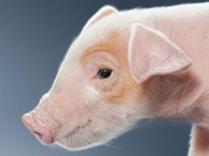 如何看待发改委调控猪价?